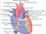Drawing Of A Human Heart and Its Parts 12 Best Drawing Images Human Heart Heart Anatomy Heart Diagram