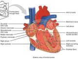 Drawing Of A Human Heart and Its Parts Anatomy Of the Heart Diagram View