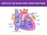 Drawing Of A Human Heart and Its Parts Parts Of the Heart and their Functions