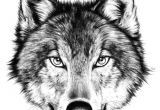 Drawing Of An Angry Wolf Drawing How to Draw A Angry Wolf Face with How to Draw A Wolf Face
