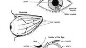 Drawing Of An Eye with Labels 16 Best Model Eye Ball Images Human Eye Eye Anatomy Eyes