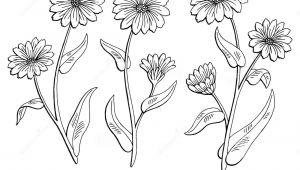 Drawing Of Calendula Flower Calendula Flower Graphic Black White isolated Sketch Illustration