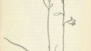 Drawing Of Cassia Flower 96 Best Watercolor Wildflowers Images Drawings Flowers