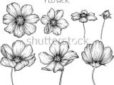 Drawing Of Cosmos Flower 527 Best Cosmos Flowers Images In 2019 Cosmos Flowers Beautiful