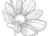 Drawing Of Cosmos Flower Cosmos Flower Drawingsi E I I E I E I E E D D N N D Dod Pinterest