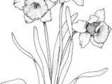 Drawing Of Daffodil Flower 126 Nejlepa A Ch Obrazka Z Nasta Nky Flowers Drawing Of Daffodil
