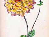 Drawing Of Dahlia Flowers Aztec Dahlia Old Garden Dahlia Dahlia Pinnata Herbier General De