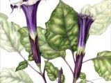 Drawing Of Datura Flower Brugmansia X Arborea Tree Datura Datura Moon Flower Known as