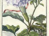 Drawing Of Datura Flower Datura