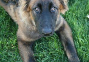 Drawing Of Dog German Shepherd Easy Easy German Shepherd Drawings German Shepherd Dog Dog Breed