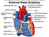 Drawing Of External Heart External Anatomy Of Heart A P 2 Pinterest Heart Anatomy