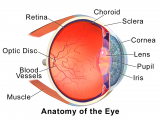 Drawing Of Eye Structure Choroid Wikipedia