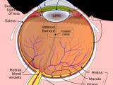 Drawing Of Eye Structure Iris Anatomy Wikipedia
