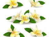 Drawing Of Flower Champa 28 Best Frangipani Images Drawings Draw Fabrics