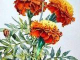 Drawing Of Flower Marigold 118 Best Marigolds Images In 2019 Marigold Flower Marigold Tattoo