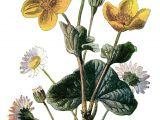 Drawing Of Flower Marigold Marigold Clip Art Vintage Flower Illustration Yellow Flower