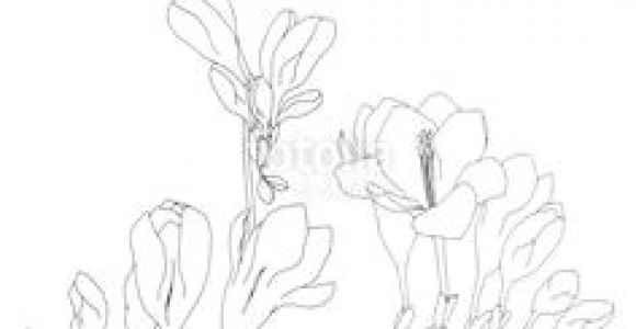 Drawing Of Freesia Flower 24 Best Freesia Flowers Images Freesia Flowers Flowers Beautiful