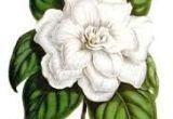 Drawing Of Gardenia Flower 220 Best Flowers Gardenia Images White Flowers Beautiful Flowers