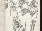 Drawing Of Gladiolus Flower 79 Best Gladioli Images Botanical Illustration Botanical Art