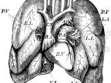 Drawing Of Heart and Lungs Antique Vintage Lungs Anatomy Medical Illustration Medical