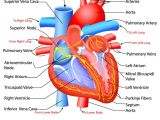 Drawing Of Heart and Lungs Heart Anatomy Click for the Free Study Guide On the Circulatory