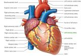 Drawing Of Heart Arteries Pictures Of Human Heart Anatomy Anatomy Of the Human Heart 4k Ultra