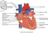 Drawing Of Heart Chambers Anatomy Of the Heart Diagram View