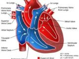 Drawing Of Heart Valves 151 Best Heart Valves Surgery Images Eat Healthy Eating Healthy