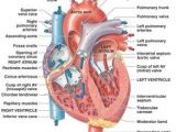 Drawing Of Heart Valves 52 Best Heart Valves Images