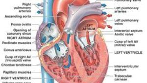 Drawing Of Heart Valves 52 Best Heart Valves Images