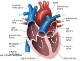 Drawing Of Heart Valves Easy to Draw Heart Diagram Prslide Com