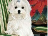 Drawing Of Maltese Dog 108 Best Maltese Dog Images Maltese Drawings Of Dogs Maltese Dogs
