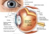 Drawing Of Mammalian Eye 16 Best Model Eye Ball Images Human Eye Eye Anatomy Eyes