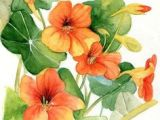 Drawing Of Nasturtium Flowers 101 Best Nasturtium Images In 2019 Beautiful Flowers Botanical