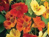 Drawing Of Nasturtium Flowers 111 Best Nasturtium Images Drawings Flower Art Paint