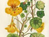 Drawing Of Nasturtium Flowers 76 Best Nasturtium Images Watercolor Paintings Botanical Drawings