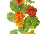 Drawing Of Nasturtium Flowers 77 Gallery Ru D D N D 1 D D N N N N N D N Lifeisbeautiful D Dµdon D D D