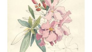 Drawing Of Oleander Flower Nerium Oleander Watercolor Pencil Drawing Pink Flowers Print