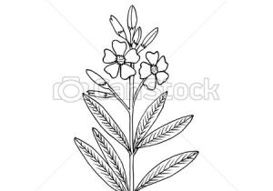 Drawing Of Oleander Flower Oleander Stock Illustration Images 96 Oleander Illustrations