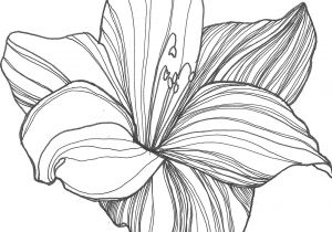 Drawing Of Sampaguita Flower Flower Drawings Google Search Art Pinterest Draw Flowers