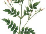 Drawing Picture Of Jasmine Flower Jasmine Flower Botanical Drawing Google Search Plus Zeichnen
