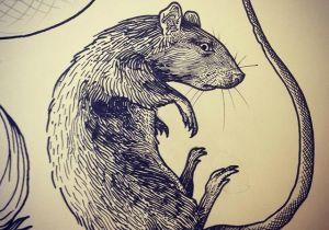 Drawing Rat Skull Rat Tattoo Art On Instagram Not Kitty Tattoos Rat Tattoo Art