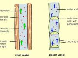 Drawing Xylem and Phloem Phloem Vs Xylem Difference and Comparison Diffen