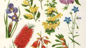 Drawings Of Australian Native Flowers Australian Flora Drawings Google Search Tattoos Pinterest