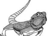 Drawings Of Bearded Dragons 59 Best Bearded Dragons Images Art for Kids Art for toddlers