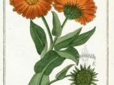 Drawings Of Calendula Flowers 97 Best All About Calendula Images In 2019 Calendula Allergies