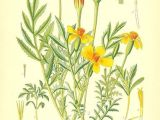 Drawings Of Calendula Flowers Marigold Flower Drawing Mexican Marigold Tagetes Patula and