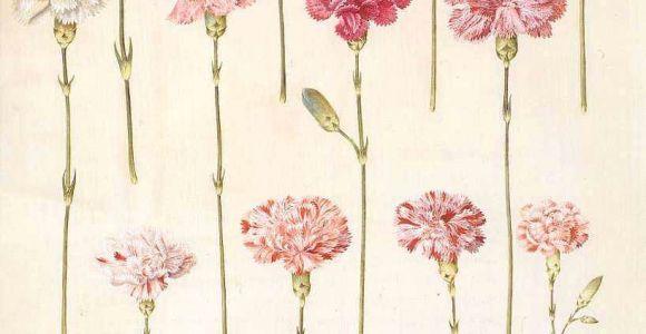 Drawings Of Carnation Flowers Dianthus Carnation Botanical Ephemera and Prints Pinterest