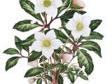 Drawings Of Christmas Roses Helleborus Niger Christmas Rose A C Sally Crosthwaite Sba