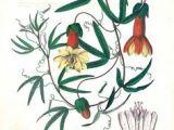 Drawings Of Climbing Flowers 626 Best Vine Illustrations Images Images Botanical Illustration